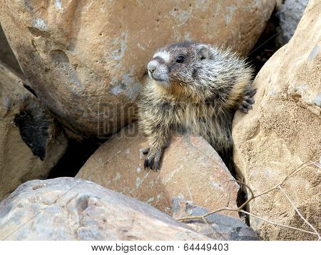 Yellow-bellied Marmot Stuck