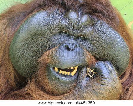 Big male Orangutan cleaning his teeth