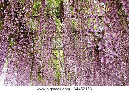 wisteria trellis