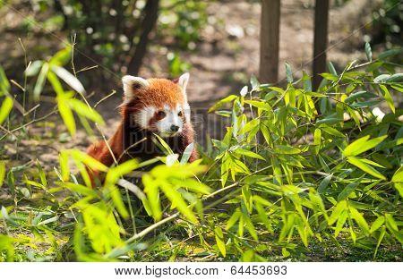 lesser panda in bamboo leaves