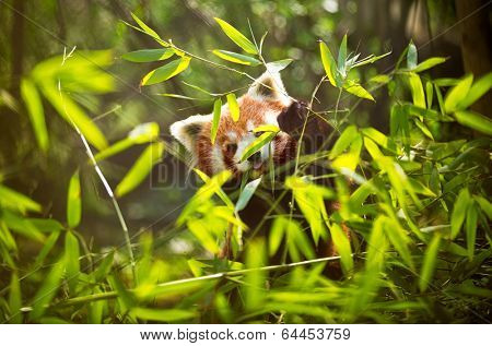 Young lesser panda in bamboo leaves (Ailurus fulgens)