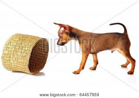 puppy of toyterrier