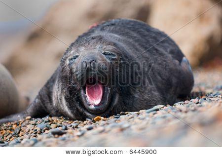 Cute Baby Seal Yawning