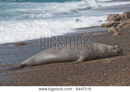 Male Seal