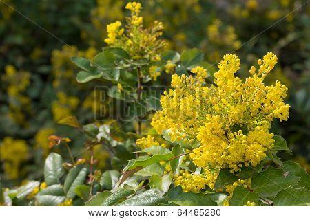 flowering evergreen Mahonia aquifolium yellow flowers in early spring