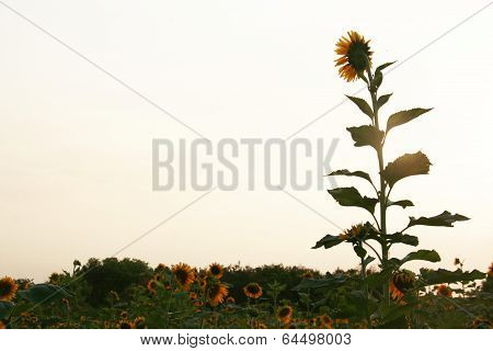 Taller Sunflower In The Garden