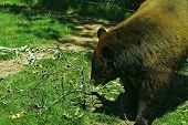 this type of bear is brown bear poster
