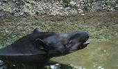 brazilian tapir taking deep breath after swimming poster