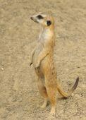 Standing meerkat side view on the desert sand poster