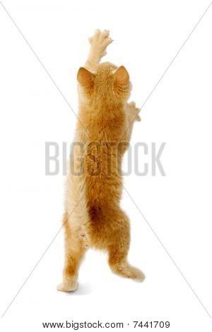 Standing Kitten