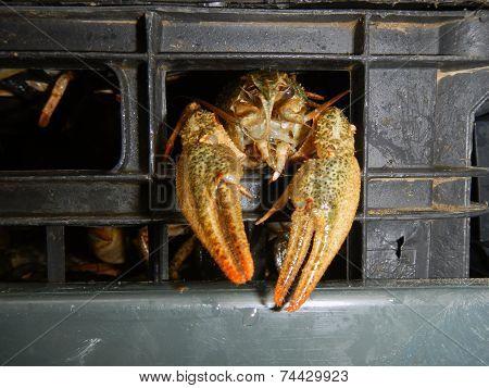 Narrow-clawed Crayfish (astacus Leptodactylus)