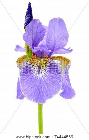 Iris Flower With Dew Drops Isolated On White Background