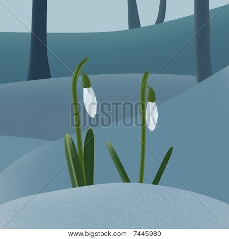 Snowdrops on the snow
