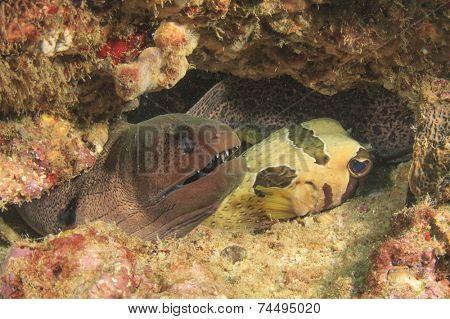 Moray Eel and Burrfish