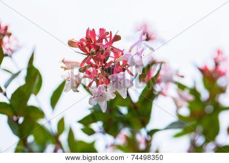 Close up view of Abelia flowers, Abelia grandiflora Rehd