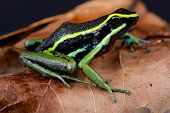 The three-striped poison arrow frog is a large, up to 6cm, dart frog species found across the Amazon from Colombia to Venezuela. poster