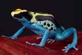 The dyeing dart frog is a big, up to 5cm, poisonous frog species found in northern Brazil,French Guiana,Guyana and Suriname, poster