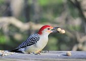 Male red-bellied woodpecker eating bird seed on a wooden post. poster