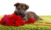 Puppy on a green carpet playing with hank of red yarn isolated on white poster