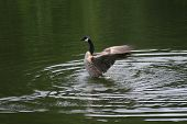 Canadian goose landing on the water with wide spread wings poster