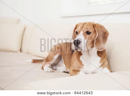 Beagle dog on the white leather sofa