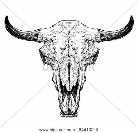 Bull / auroch skull with horns on white background.