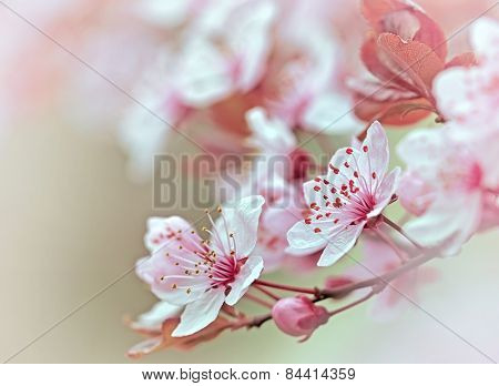 Flowering - blooming fruit tree