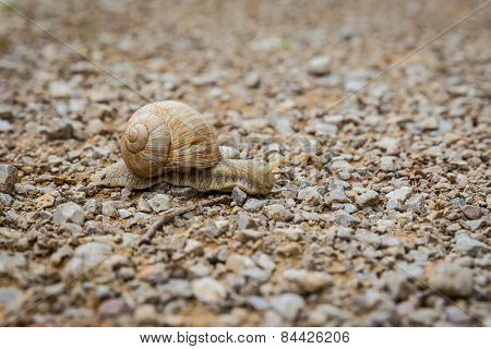 Close Up Of A Snail Gliding Across A Pebble Surface