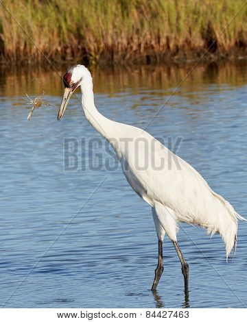 Whooping Crane Looking at Crab in the Air