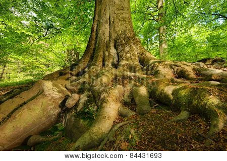 Mighty Roots Of A Majestic Beech Tree