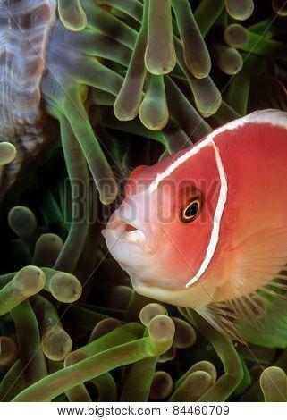 Skunk Clownfish