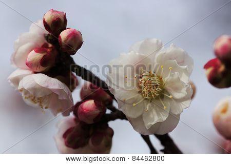 Beautiful plum flowers bloom