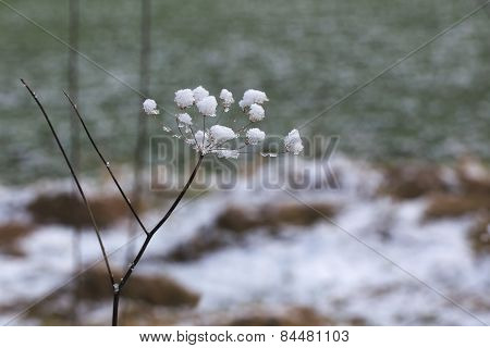Snow Umbel