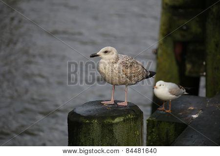 Gull Variety