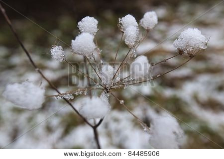 Inside The Snow Umbel