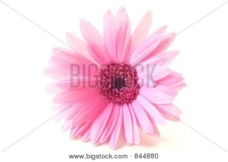 Light Pink Gerbera Daisy