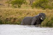 wild african elephant sleeping in the riverbank, kruger, Soth Africa poster