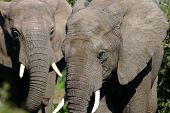 Young Elephant Bulls poster