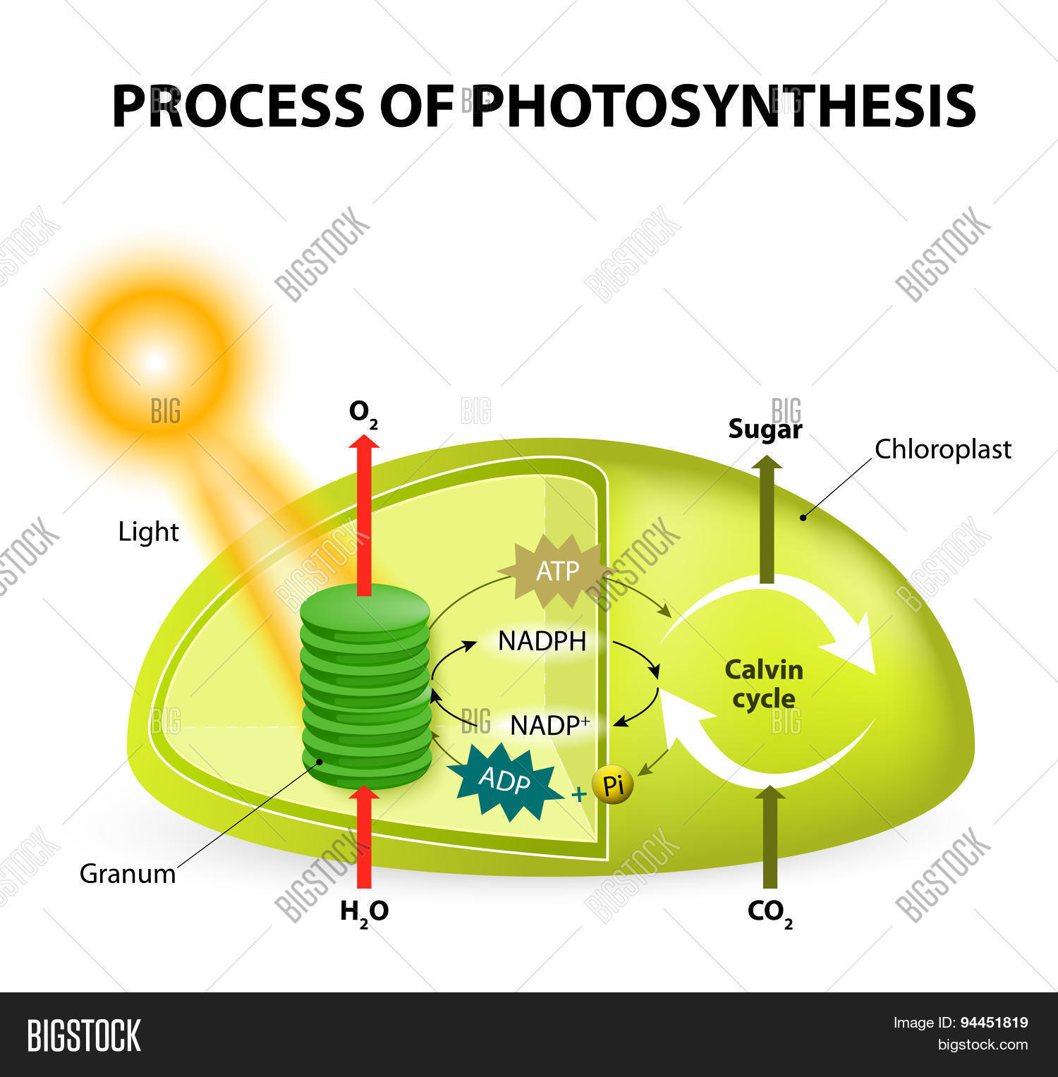 Photosynthesis cycle diagram and labels online schematic diagram photosynthesis vector photo free trial bigstock rh bigstockphoto com calvin cycle diagram photosynthesis and respiration cycle ccuart Images