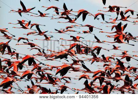 Caribbean flamingos ( Phoenicopterus ruber ruber ) flying