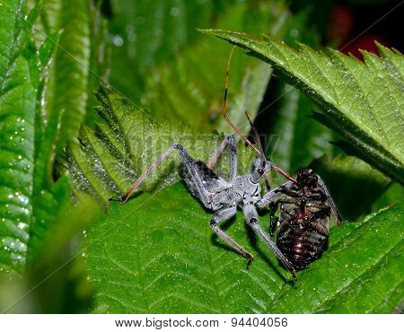 Assassin bug eating Japanese Beetle