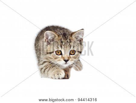 Playful kitten Scottish Straight