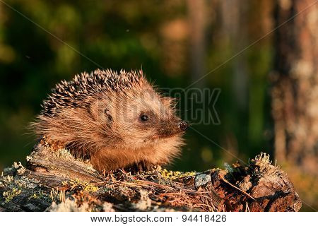 hedgehog in natural habitat