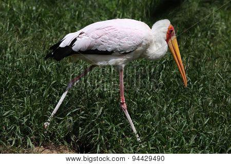 Yellow-billed stork (Mycteria ibis).