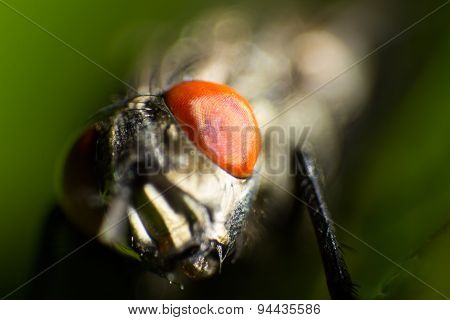 Isolated Close Up, House Fly On The Green Background
