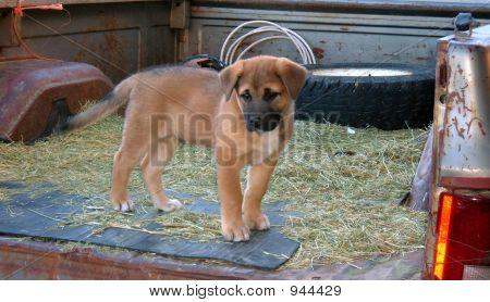 Truckbed Puppy