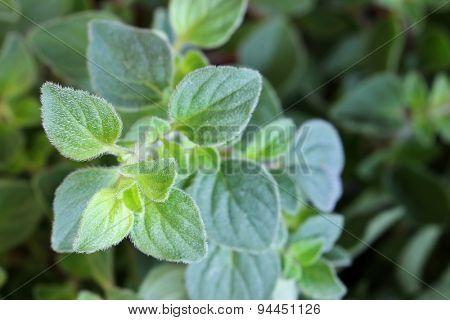 Closeup photo of Oregano in the garden