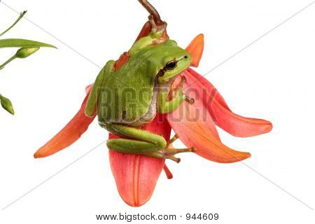 Treefrog On A Red Flower