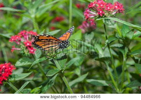Monarch butterfly searching for nectar