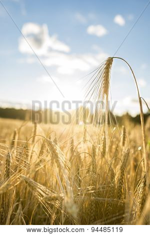 Close Up Of Golden Ear Of Wheat Illuminated By Sun